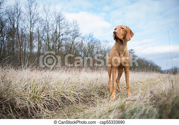 Hungarian pointer dog in winter field - csp55333690