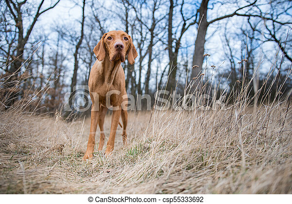 Hungarian pointer dog in winter field - csp55333692
