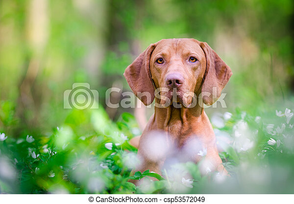 Hungarian pointer hound dog in the forrest - csp53572049