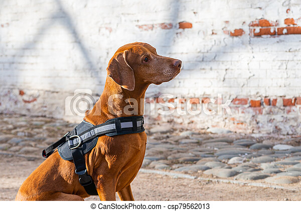 Hungarian Pointing Dog or Vizsla in outdoor in a park - csp79562013