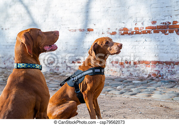 Hungarian Pointing Dog or Vizsla in outdoor in a park - csp79562073
