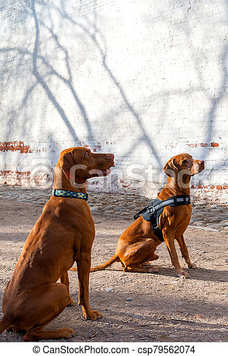 Hungarian Pointing Dog or Vizsla in outdoor in a park - csp79562074