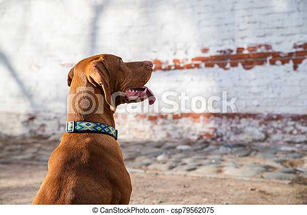 Hungarian Pointing Dog or Vizsla in outdoor in a park - csp79562075