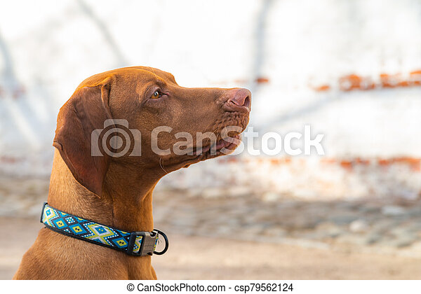 Hungarian Pointing Dog or Vizsla in outdoor in a park - csp79562124