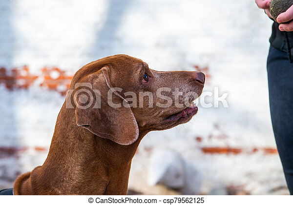 Hungarian Pointing Dog or Vizsla in outdoor in a park - csp79562125