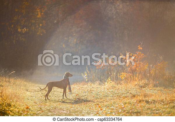 Hungarian Vizsla autumn portrait - csp63334764