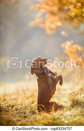 Hungarian Vizsla autumn portrait - csp63334757