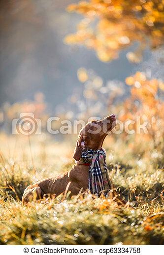 Hungarian Vizsla autumn portrait - csp63334758