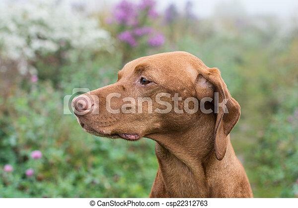 Hungarian Vizsla dog in a field. - csp22312763