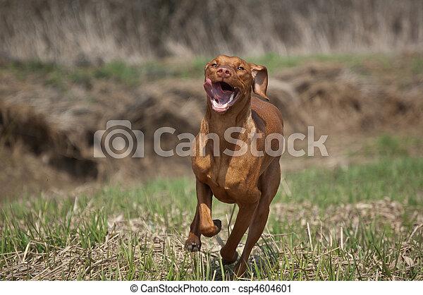 Hungarian Vizsla Dog in Grassy Field - csp4604601