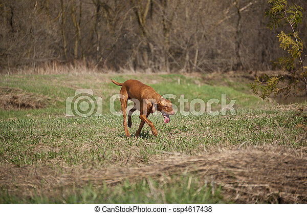 Hungarian Vizsla Dog in Grassy Field - csp4617438