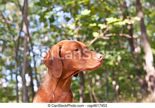 Hungarian Vizsla Dog in the Woods - csp4617453