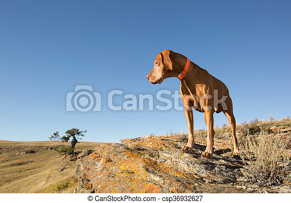 hungarian vizsla dog outdoors - csp36932627
