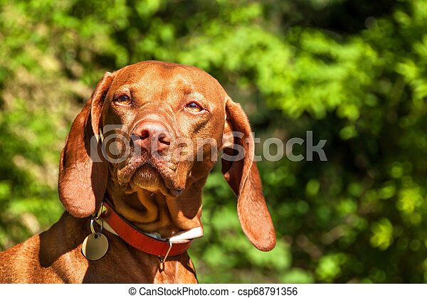 Hungarian Vizsla dog portrait in the nature. Hungarian pointer Vizsla, sniffing on hunt. Dog a loyal friend of a hunter. Detail of dog head. - csp68791356