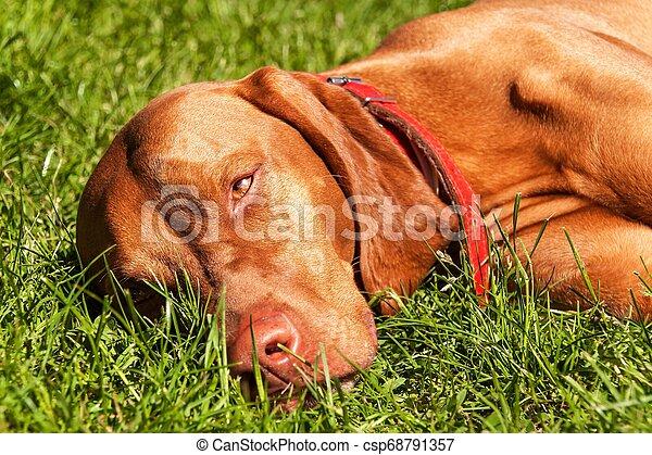 Hungarian Vizsla dog portrait in the nature. Hungarian pointer Vizsla, sniffing on hunt. Dog a loyal friend of a hunter. Detail of dog head. - csp68791357