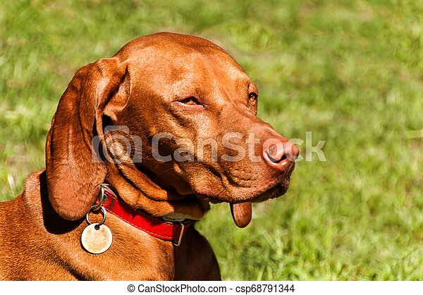 Hungarian Vizsla dog portrait in the nature. Hungarian pointer Vizsla, sniffing on hunt. Dog a loyal friend of a hunter. Detail of dog head. - csp68791344