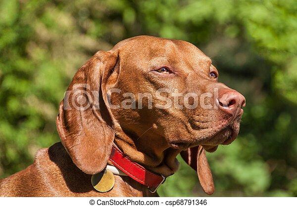Hungarian Vizsla dog portrait in the nature. Hungarian pointer Vizsla, sniffing on hunt. Dog a loyal friend of a hunter. Detail of dog head. - csp68791346