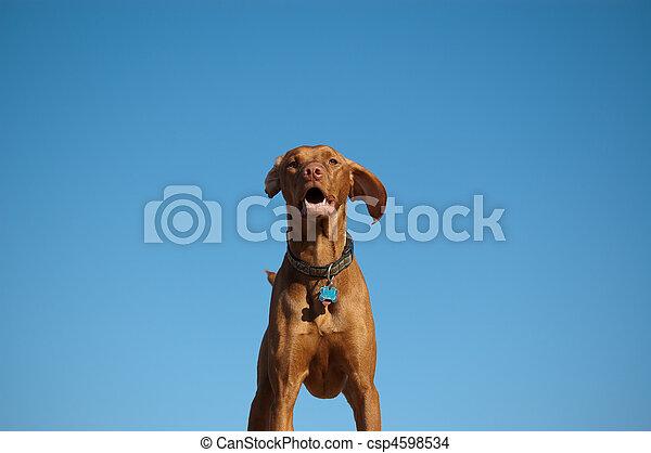 Hungarian Vizsla Dog Portrait with Blue Sky - csp4598534