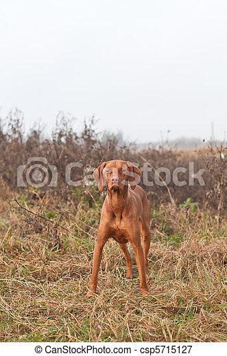 Hungarian Vizsla Dog Standing in a Field - csp5715127