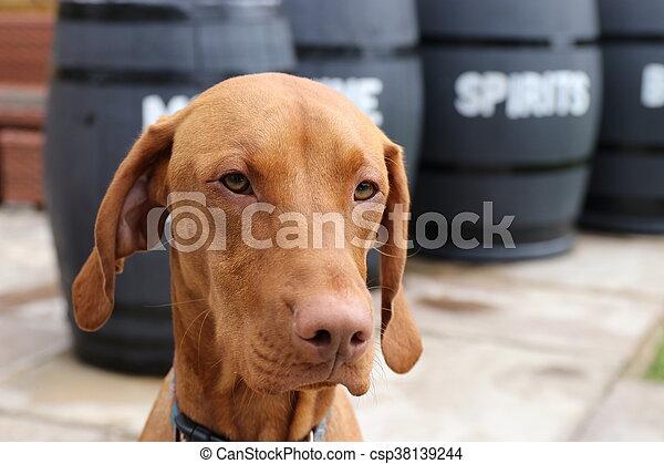 Hungarian vizsla dog - csp38139244
