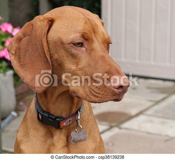Hungarian vizsla dog - csp38139238