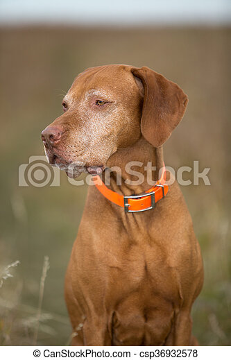 hungarian vizsla portrait outdoors - csp36932578