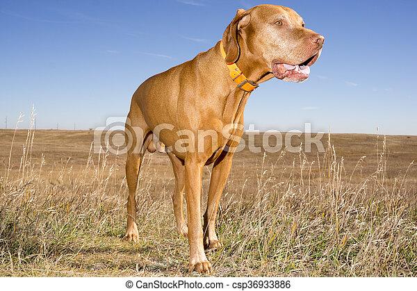 hungarian vizsla standing outdoors in field - csp36933886