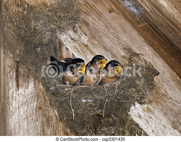 Hungry Barn Swallow Chicks - csp3301430