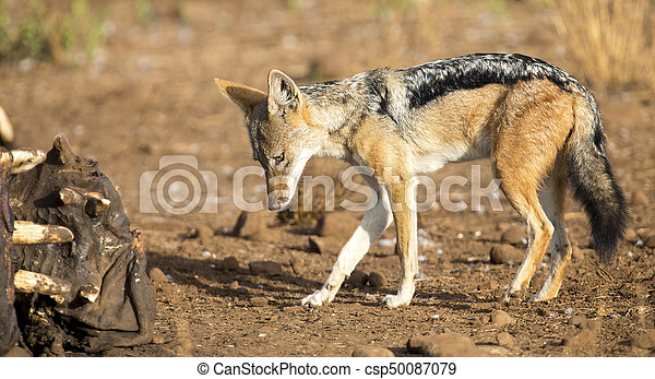 Hungry Black backed jackal looking for food at hippo carcass - csp50087079