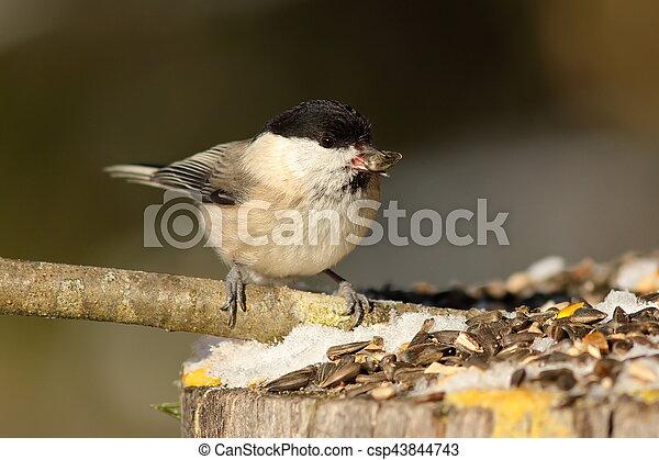 hungry coal tit at garden bird feeder - csp43844743