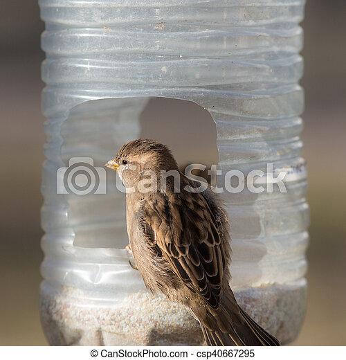 Hungry sparrow close up - csp40667295