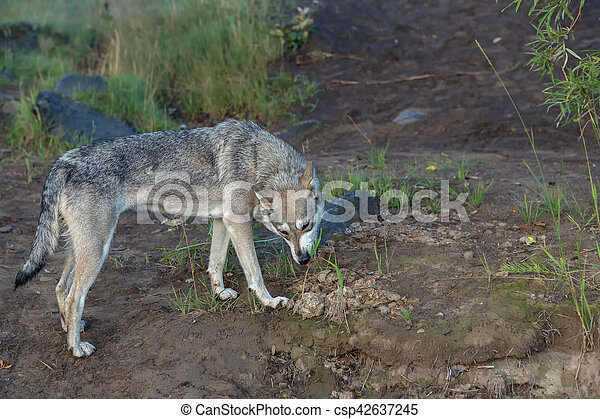 Hungry stray dog eats grass. Looking food. - csp42637245