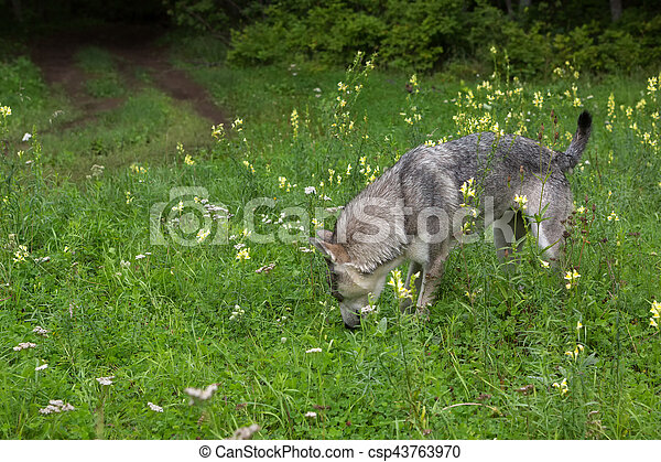 Hungry stray dog looking for food in woods. - csp43763970