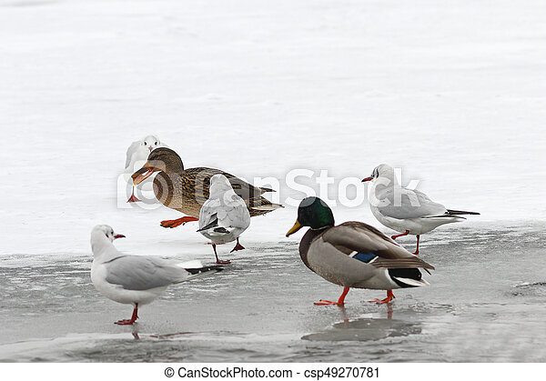 hungry wild birds in winter - csp49270781