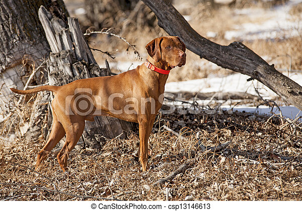 hunting dog in action - csp13146613
