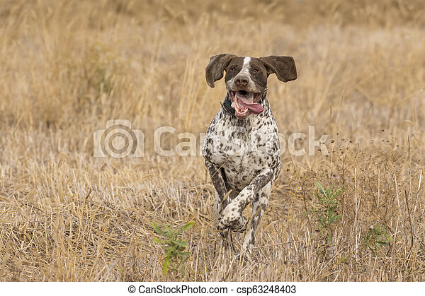 Hunting dog in field - csp63248403