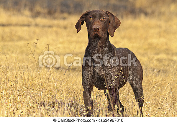hunting dog in front - csp34967818