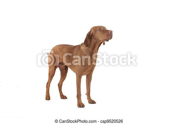 hunting dog in studio - csp9520526