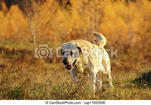 hunting dog in the forest - csp11653590