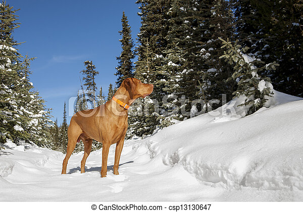 hunting dog in winter forest - csp13130647
