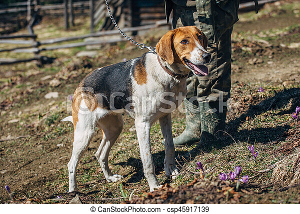 hunting dog on a leash with the owner - csp45917139