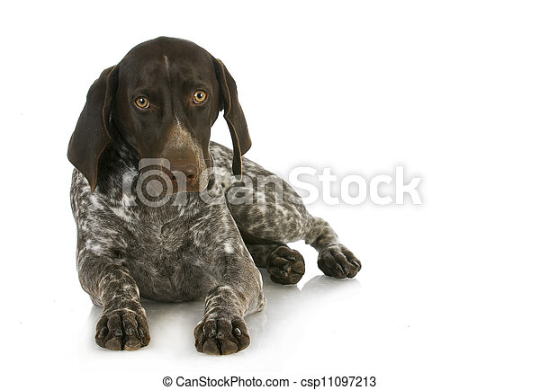 hunting dog - csp11097213