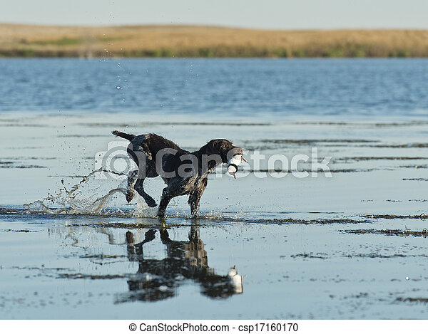 Hunting Dog - csp17160170