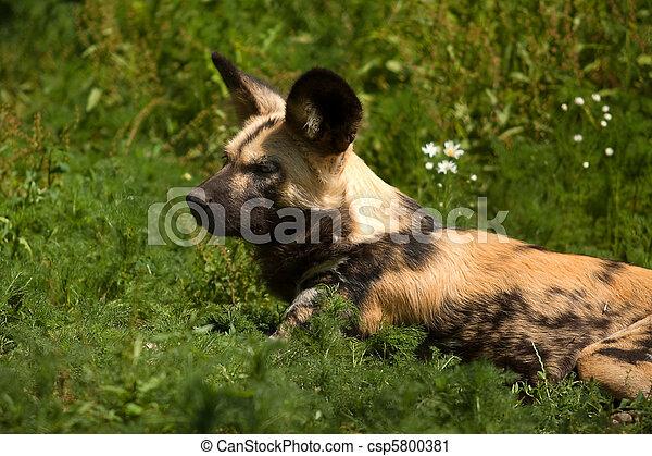 hunting dog - csp5800381