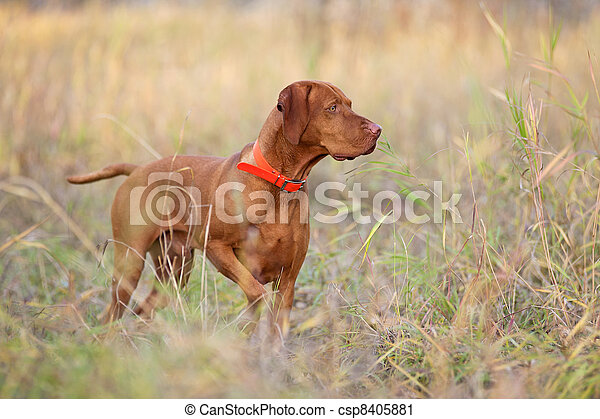 hunting dog - csp8405881