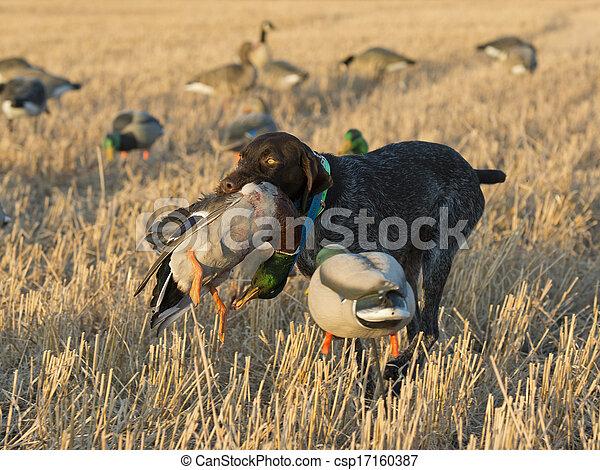Hunting dog retrieving a duck - csp17160387