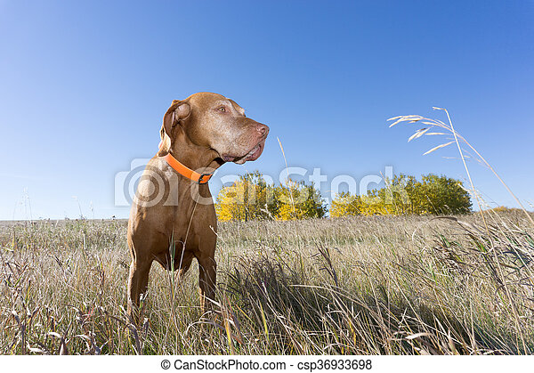 hunting dog standing in grass outdoors - csp36933698