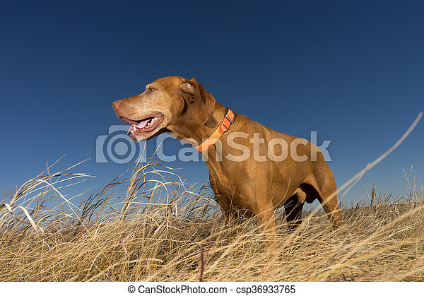 hunting dog standing in tall grass - csp36933765