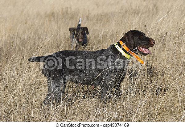 Hunting Dog - csp43074169