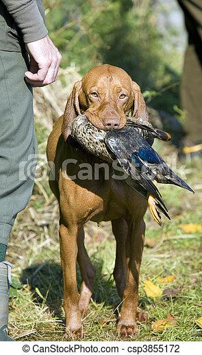hunting dog - csp3855172